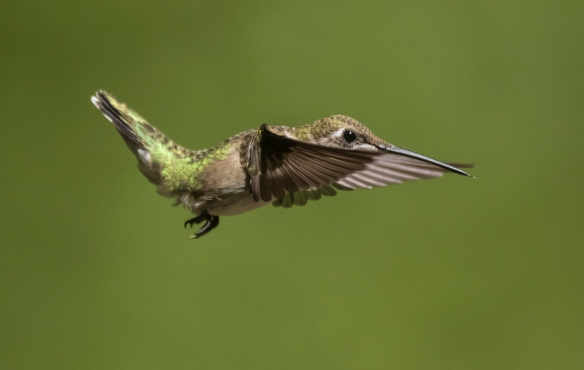 Ruby-throated hummingbird imm male 4