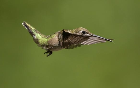 Ruby-throated hummingbird imm male 4
