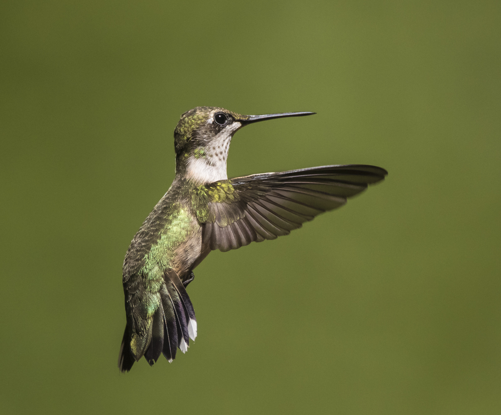 Ruby-throated hummingbird imm male