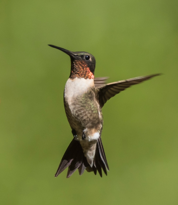 Ruby-throated hummingbird male with pointed tail feathers