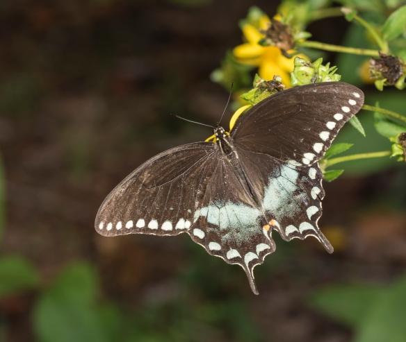 Spicebush swallowtail adult