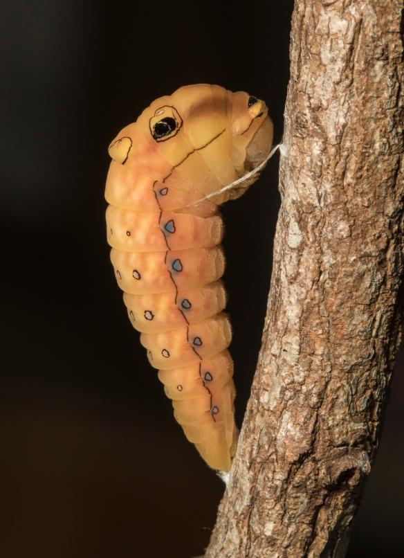 Spicebush swallowtail prepup