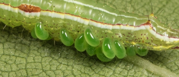 Variable oakleaf caterpillar with parasites close up
