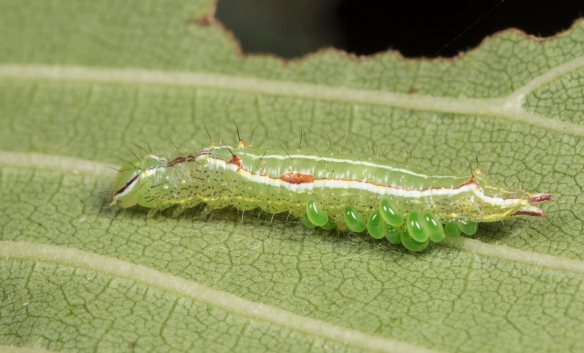 Variable oakleaf caterpillar with parasites