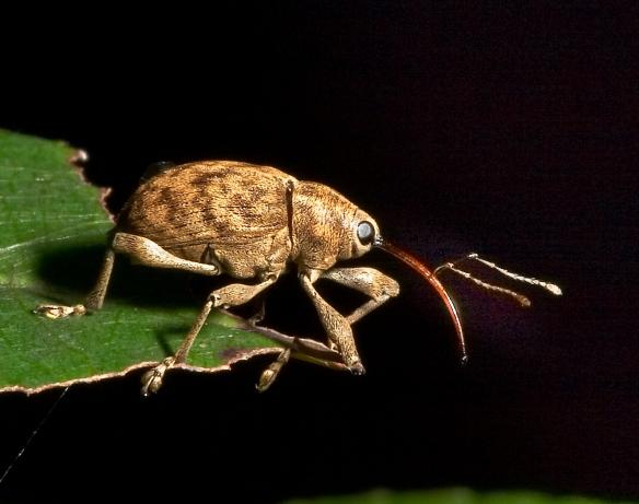 acorn weevil adult