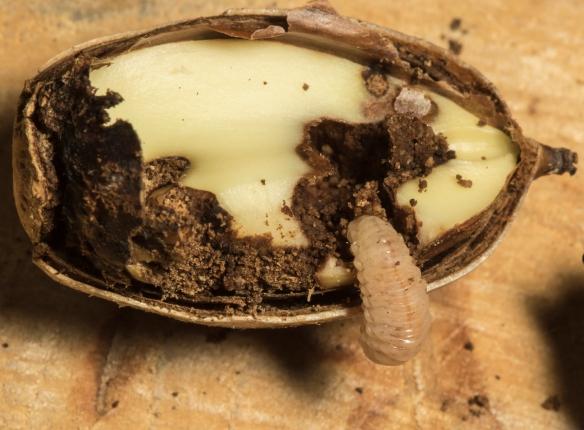 acorn weevil exiting white oak acorn