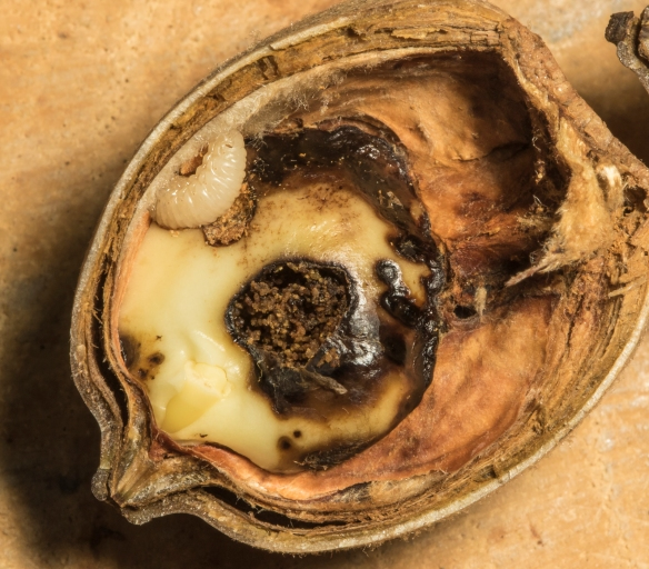 acorn weevil in red oak acorn
