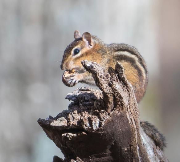 chipmunk chewing an acorn
