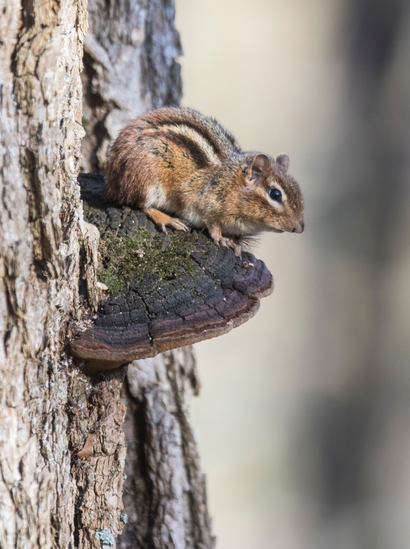 chipmunk on shelf fungus