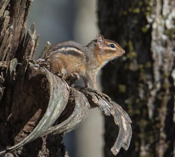chipmunk on tree branch 1