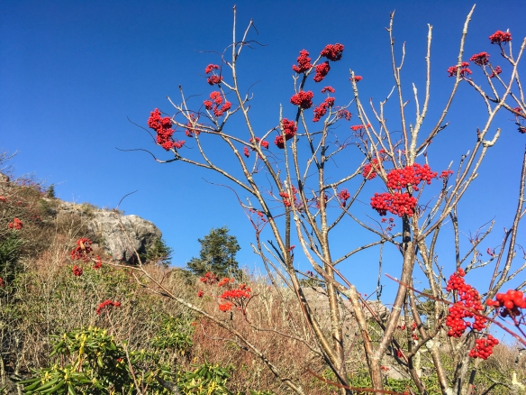Mountain Ash against sky