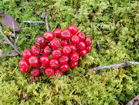 Mountain ash berries on moss