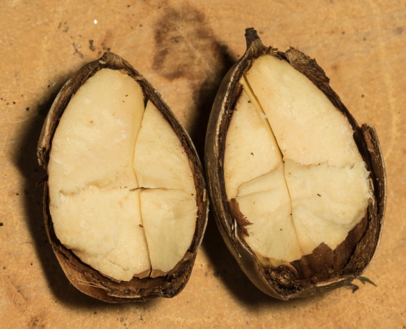 unaffected white oak acorn