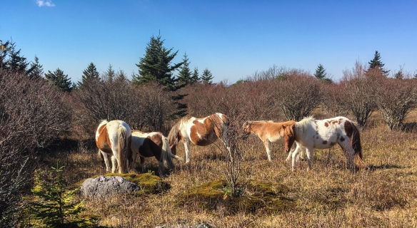 Wild ponies on Pine Mountain Trail