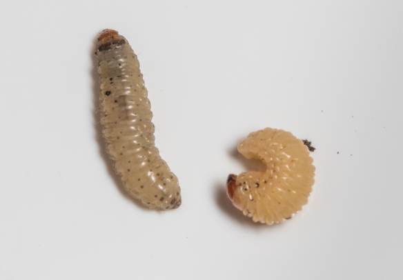 Acorn moth larva and acorn weevil larva