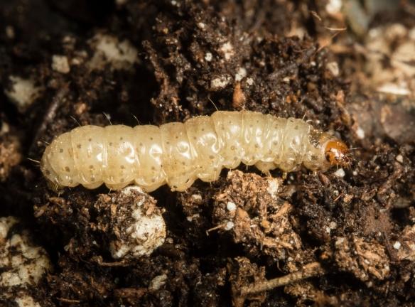 Acorn moth larva