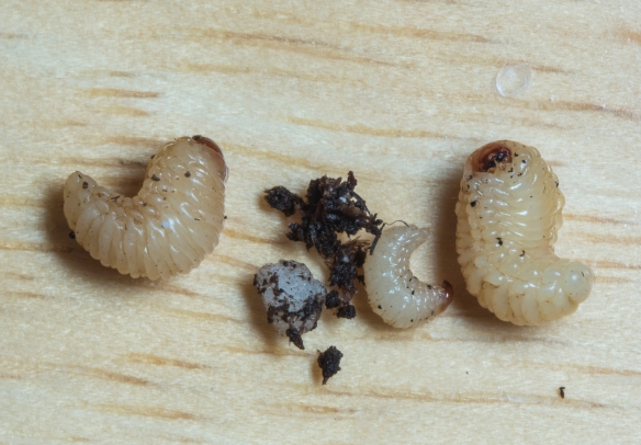 Acorn weevil larvae big and little
