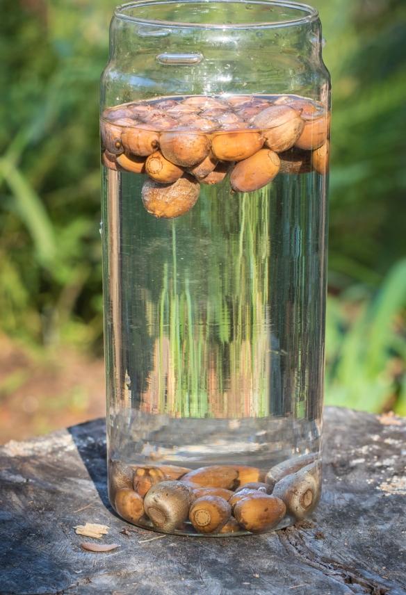 acorns in water 1