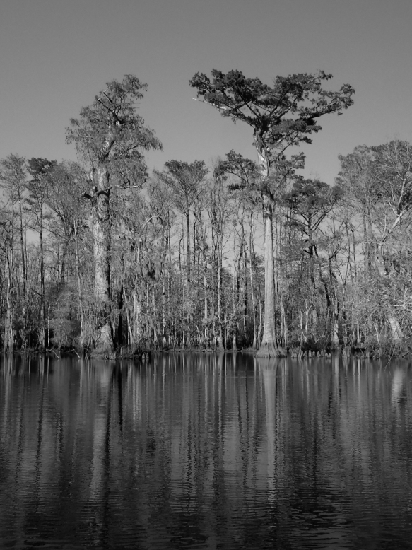 Bald cypress pair in black and white