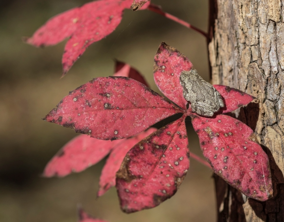 Gray Treefrog on Va creeper leaves 2