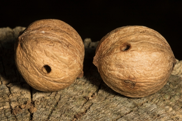 Hickory nuts with weevil exit hole
