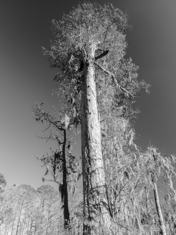 Huge cypress along Gardner Creek