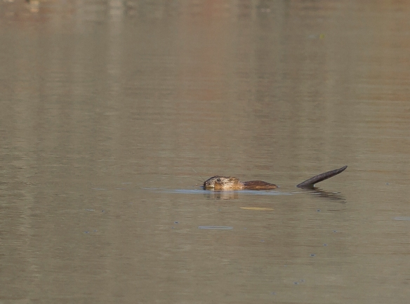 Muskrat feeding in river