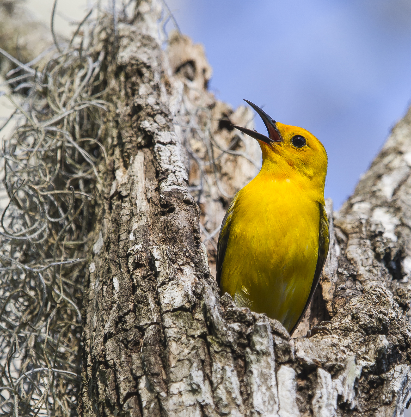 Prothonotary Warbler singing at nest cavity 1