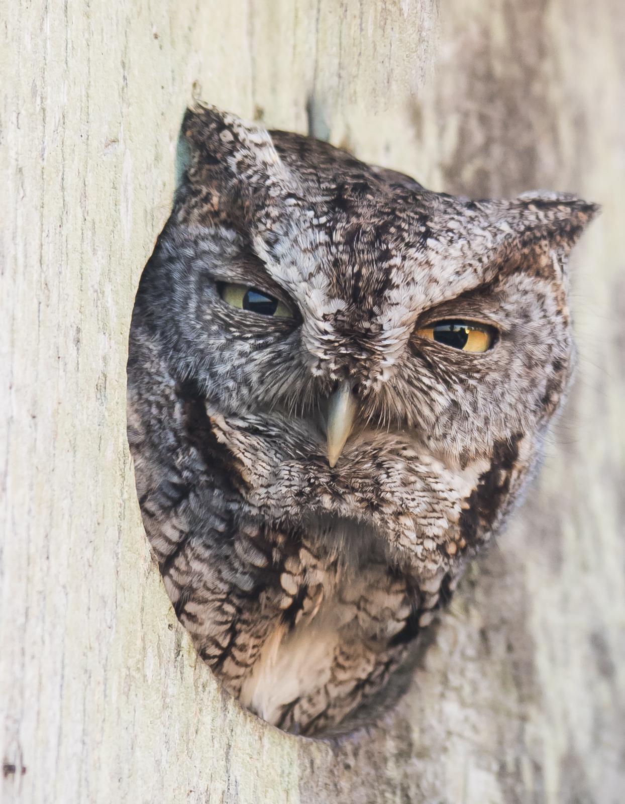 Screech owl in wood duck box close up 1