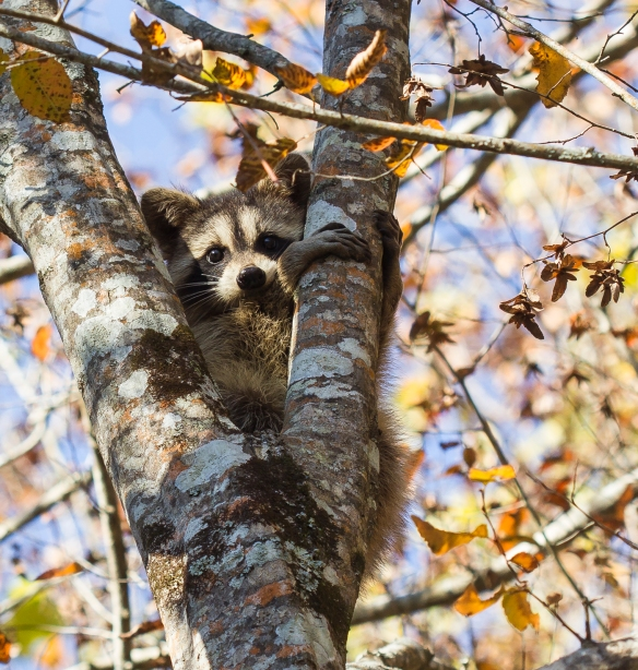 Young raccoon in tree