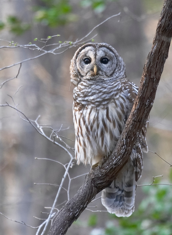 Barred owl on grape vine 1