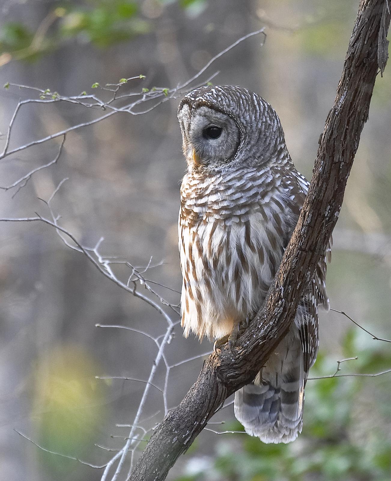 Barred owl on grape vine