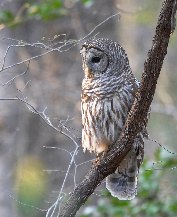 Barred owl on grape vine