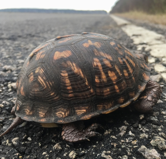 box turtle on bird count