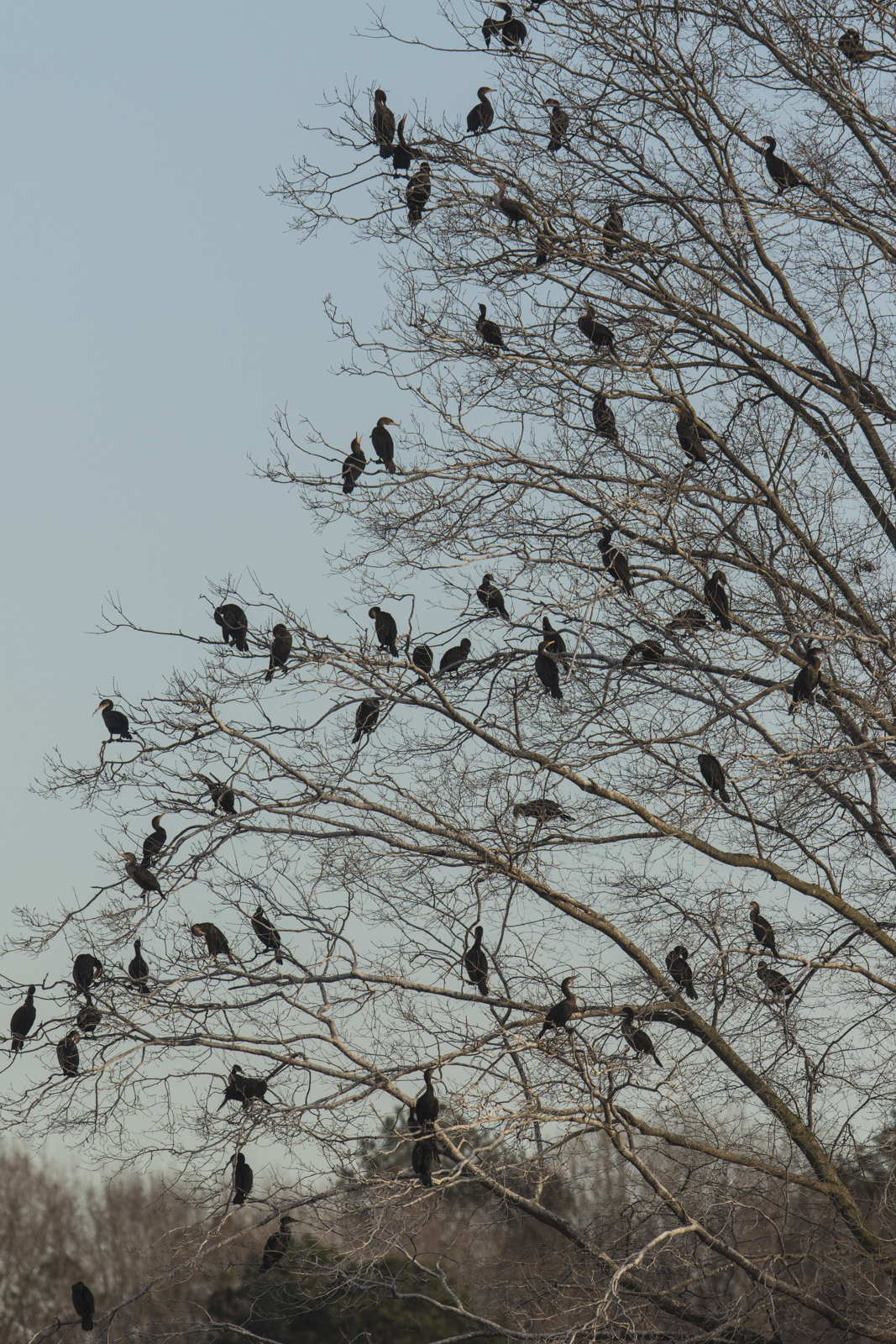 Cormorants in tree