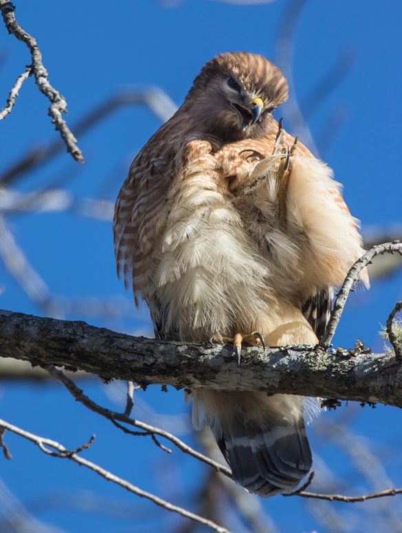 hawk preening 1