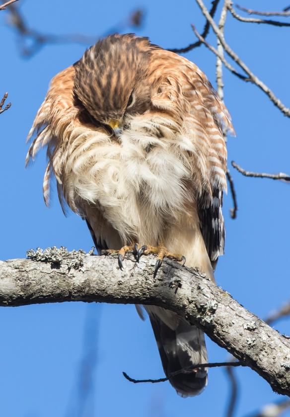 Hawk preening