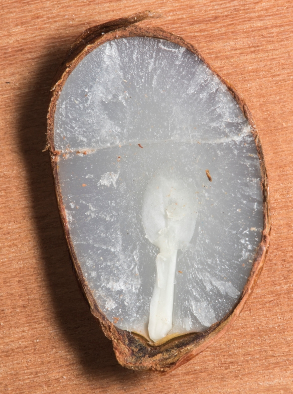 Persimmon seed spoon