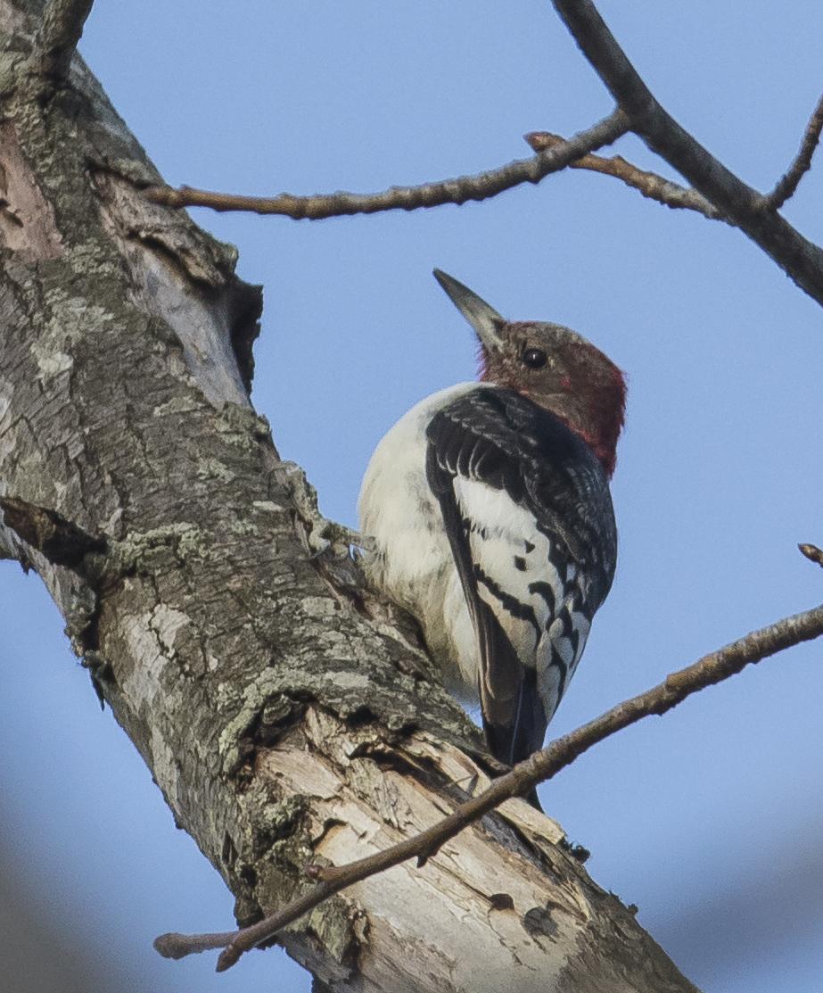 Red-headed woodpecker imm male