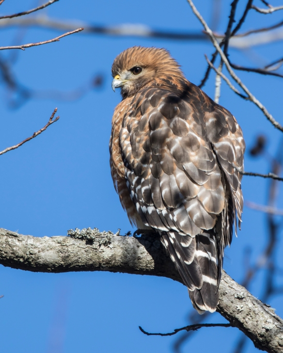 red-shouldered hawk back view