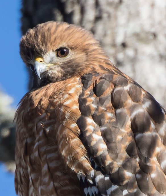 red-shouldered hawk close up of shoulder