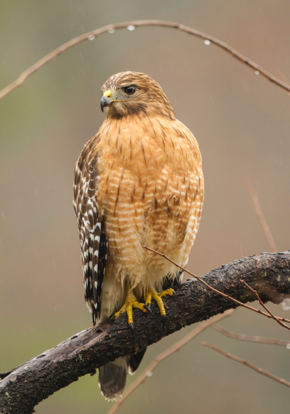 Red-shouldered Hawk in rain