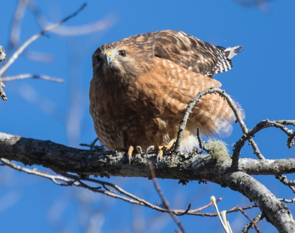 red-shouldered hawk pooping