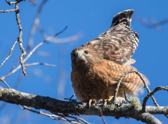 red-shouldered hawk ready to poop