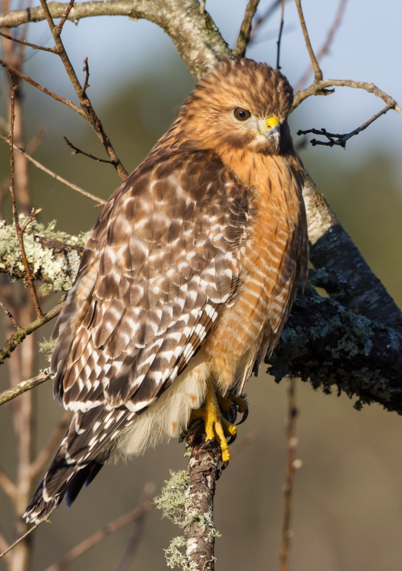 Red-shouldered hawk side view