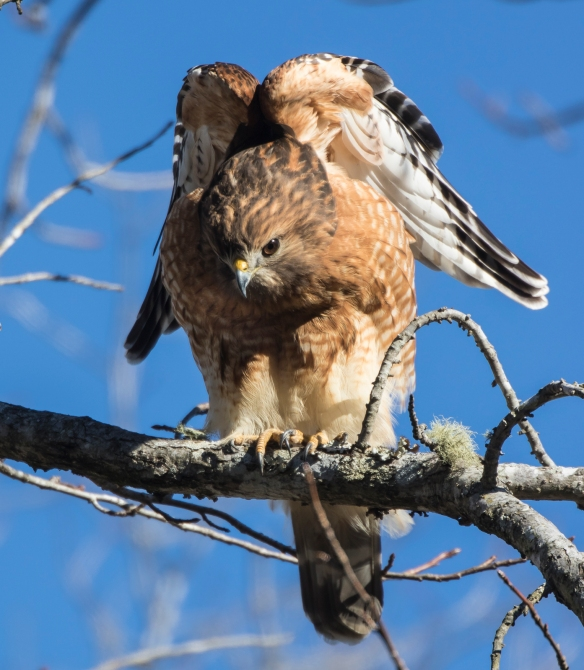 red-shouldered hawk stretch