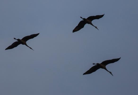 sandhill cranes at Pungo