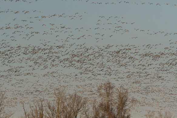 Snow geese leaving Pungo Lake