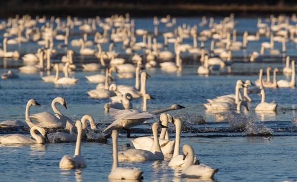 Swans on Marsh A 1