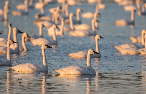 Swans on Marsh A